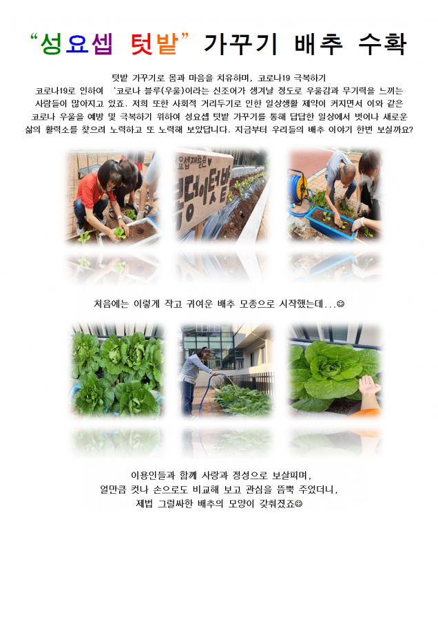 """""""성요셉 텃밭"""" 가꾸기 배추 수확(9번지이야기)001.png"""
